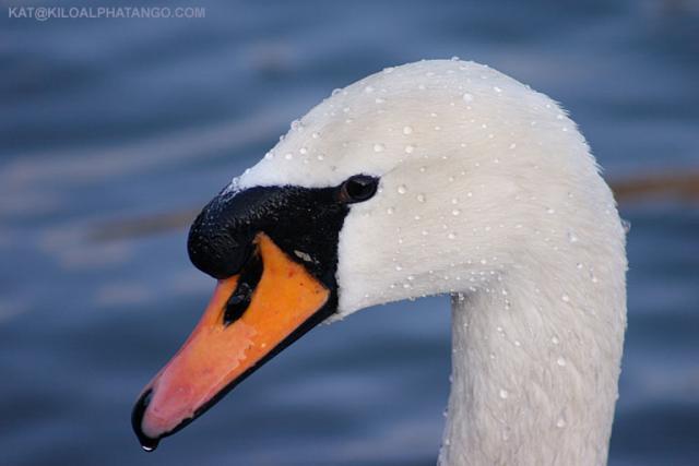 Mute Swan Head Close-up